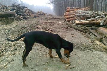 Pinczer średni. W lesie. 30.03.2014