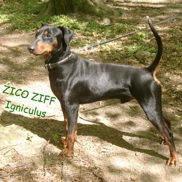pinczer średni ZICO ZIFF Igniculus